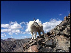 sheep live high up on Quandary Peak