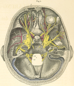 Illustrated overhead and cross section view of the major nerves of the brain